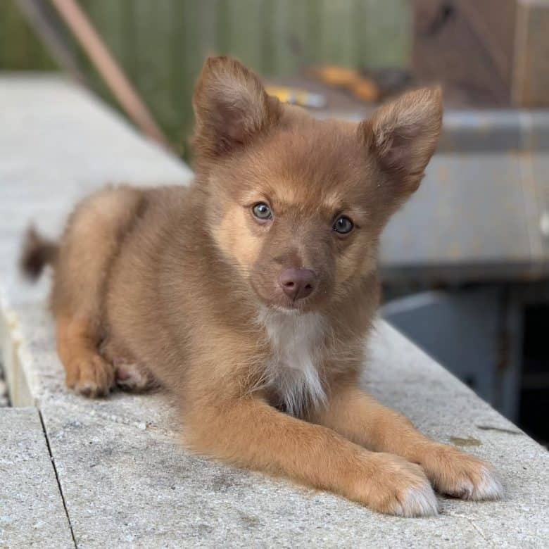 A brown Border Pom puppy with blue eyes