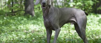 a Shorthaired Weimaraner standing in the forest