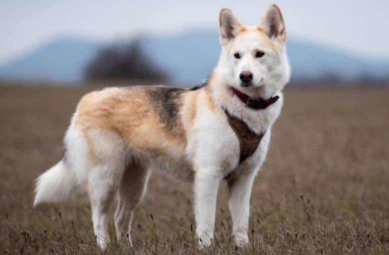 Portrait of a Siberian Husky and Akita mix dog