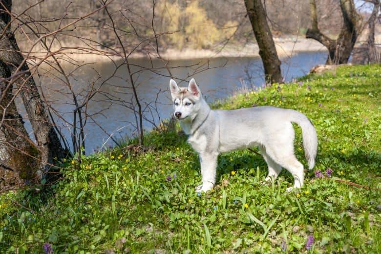 An adorable Siberian Husky puppy on a field