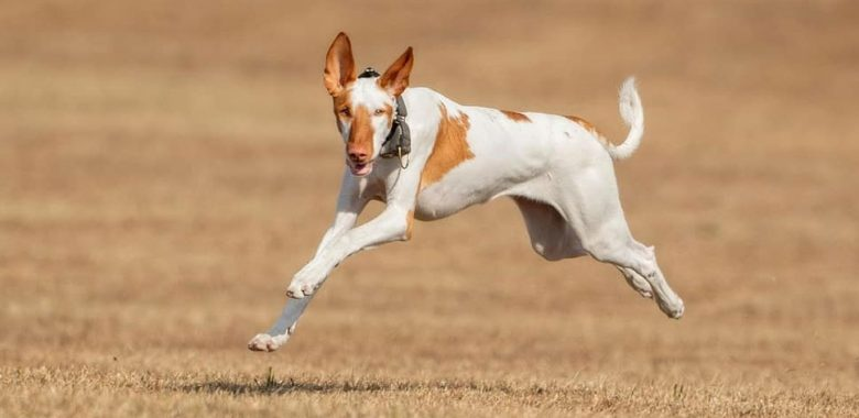 Sighthound dog running fast chasing a lure
