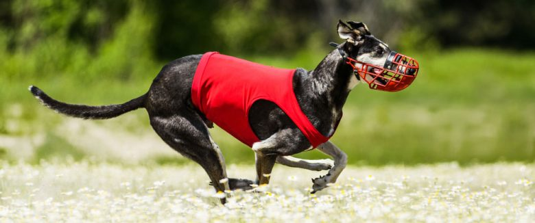 Sighthound dog running fast in a lure coursing competition
