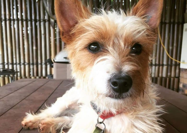 Silky Terrier Jack Russell mix dog lying on the table