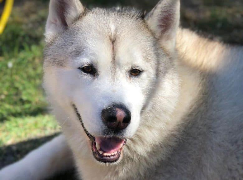 Silver and white Alaskan Malamute dog portrait