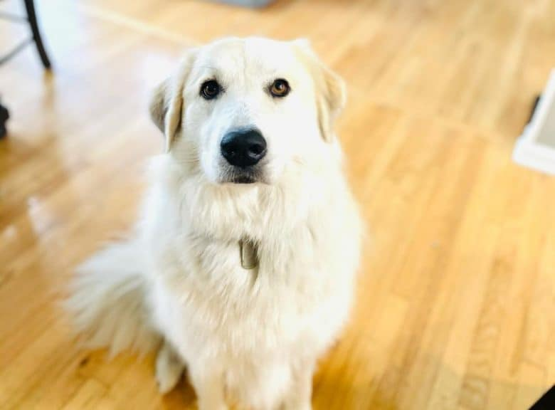 a patient Anatolian Pyrenees sitting on a hard wood floor