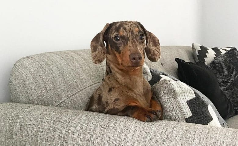 A comfortable Dapple Doxie on a couch