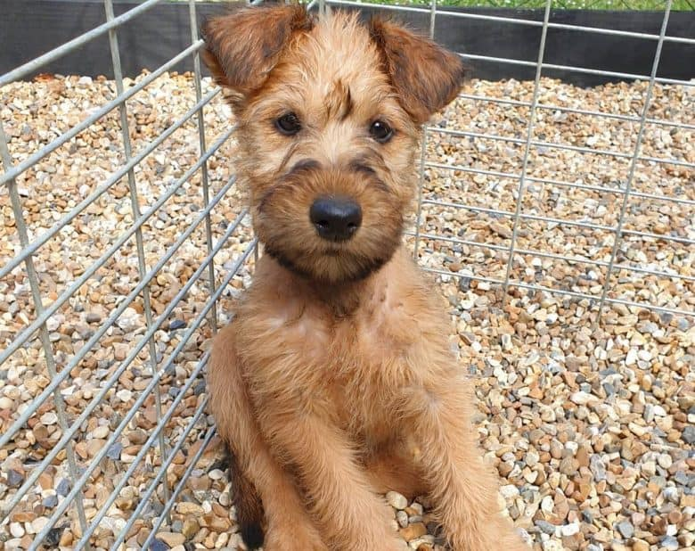 An Irish Terrier puppy sitting on pebbles inside a cage