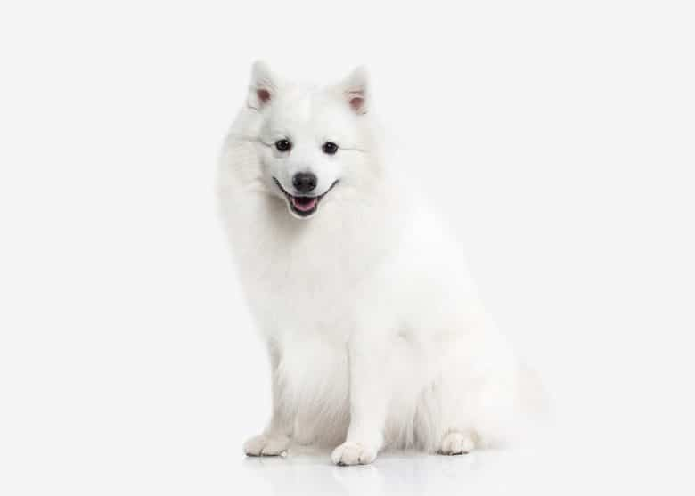 a Japanese Spitz sitting with white background