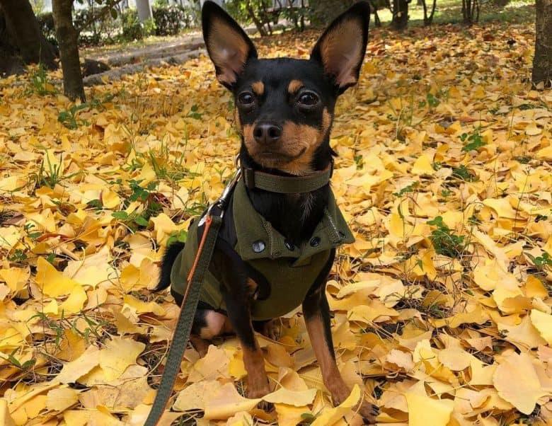 A Manchester Terrier wearing a green vest on fall leaves