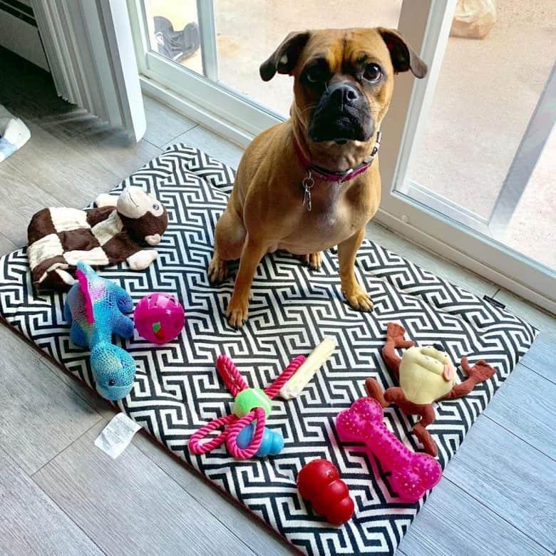 A spoiled Poxer showcasing his toys