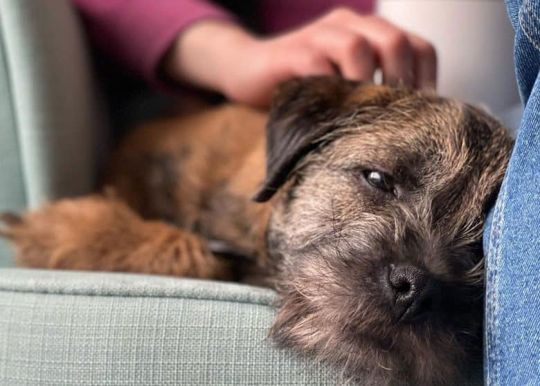 Sleepy Border Terrier dog rubbed by the owner