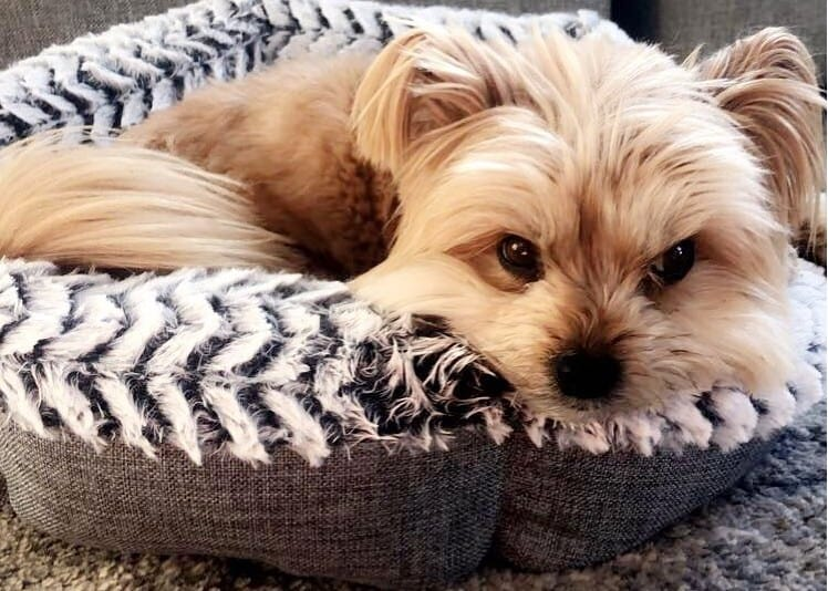 A sleepy Porkie laying on a dog bed comfortably