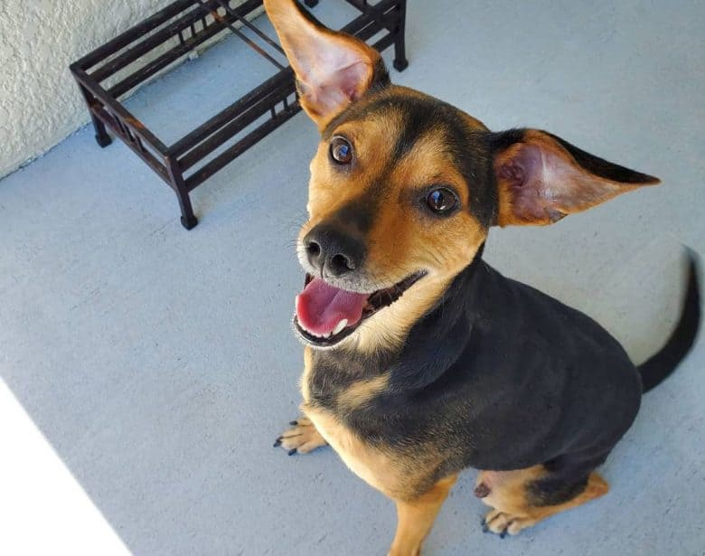 Smiling Beagle Miniature Pinscher mix dog looking at the owner