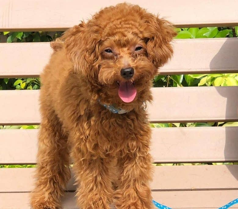 A beaming Brown Poodle standing on a wooden bench