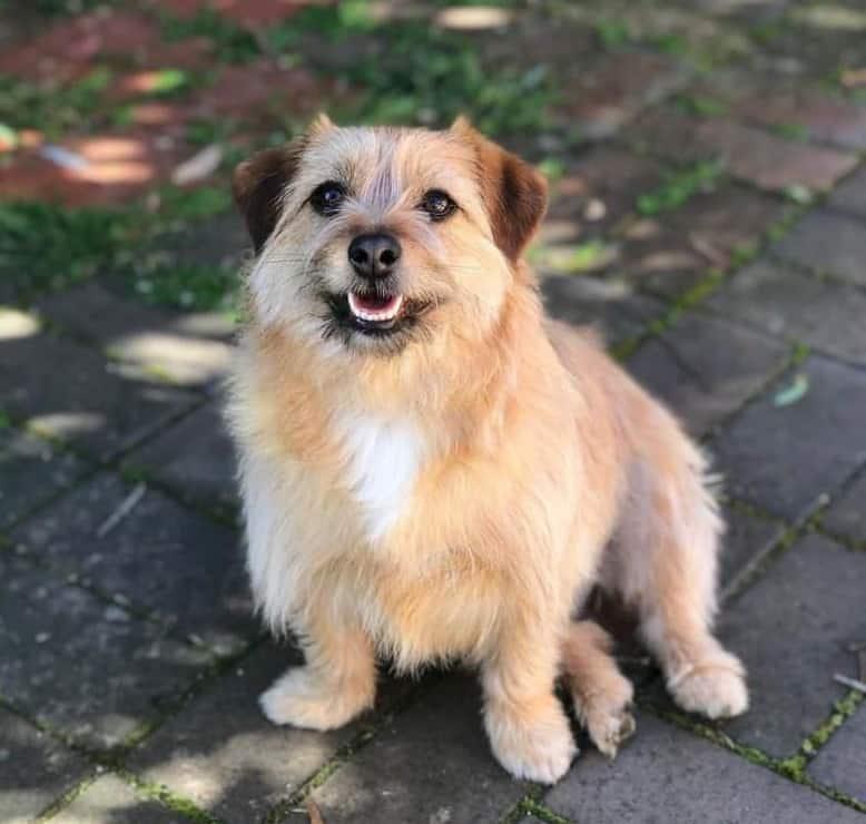 Smiling Chihuahua Maltese mix posing outdoor