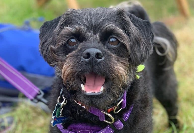 A smiling Pugapoo wearing a purple dog harness