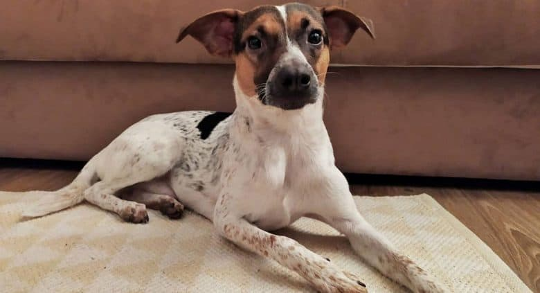 Smooth Fox Terrier Jack Russell mix dog lying on the mat