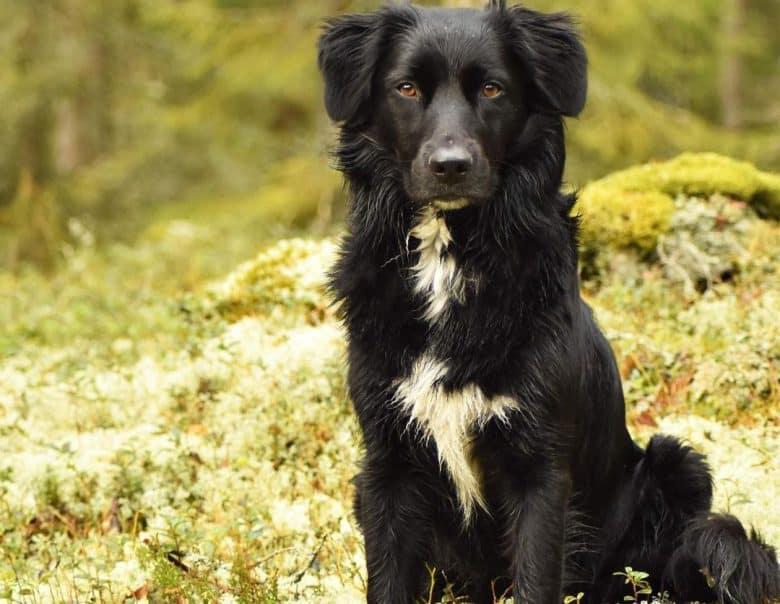 Solid black Australian Shepherd dog portrait