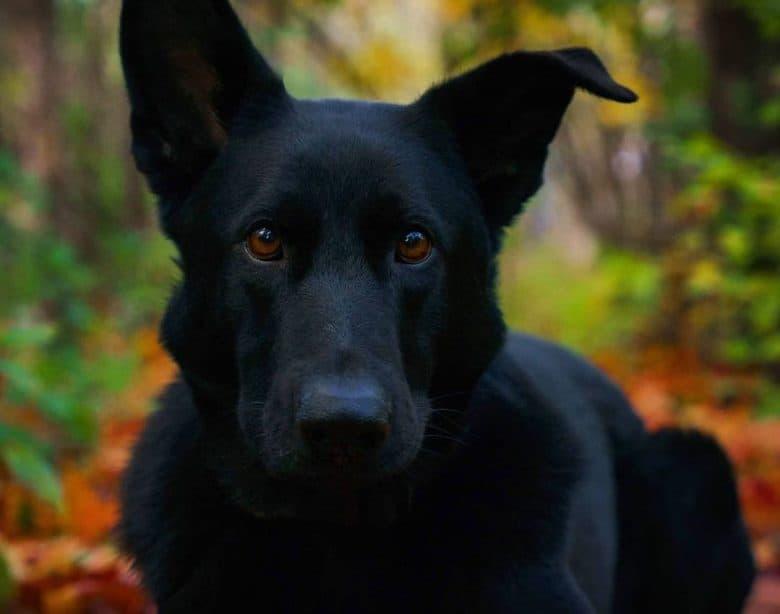 A matte black coated German Shepherd