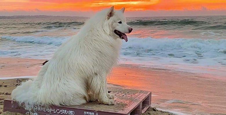 Solid white Alaskan Malamute dog chilling on the beach