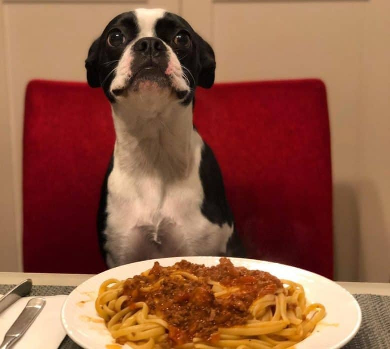 A Boston Terrier excited to eat her spaghetti