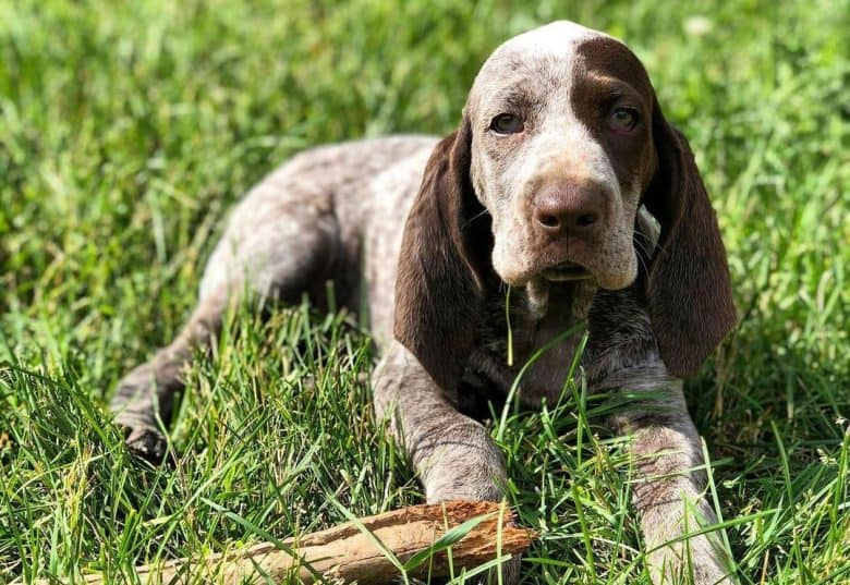 Spanish Pointer dog lying on the grass