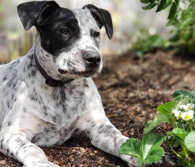 Handsome spotted Blue Pit Cattle Terrier outdoors