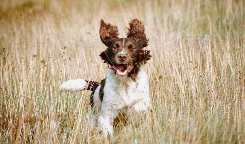 Springer Spaniel dog running on the brushland