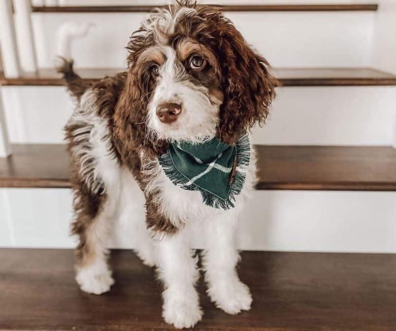 Springer Spaniel Poodle mix dog portrait