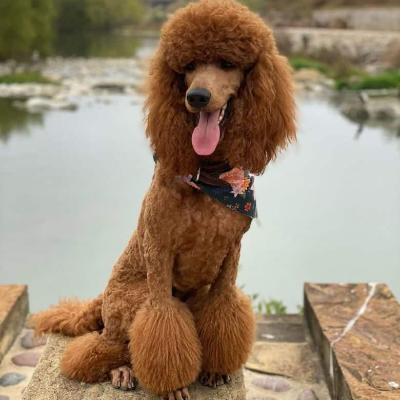Standard Poodle posing near the river