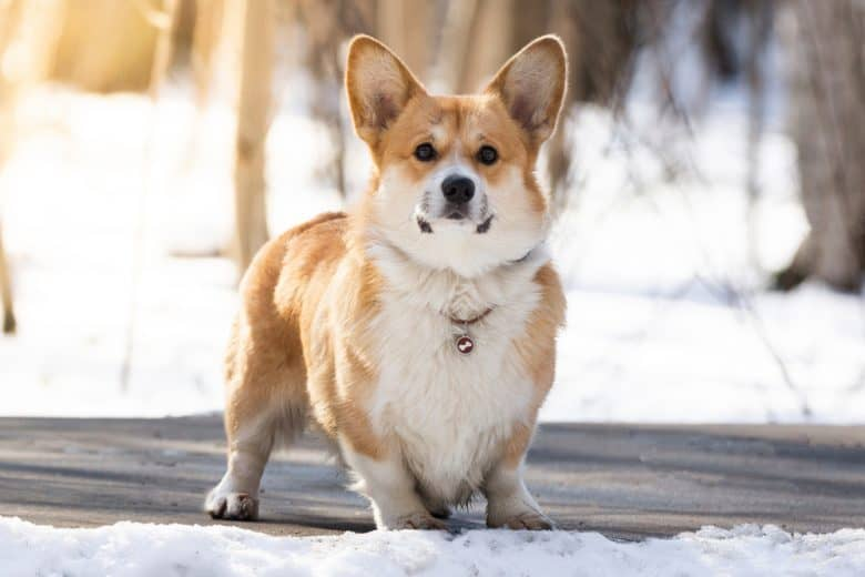 A charming Corgi standing outside on a snowy day