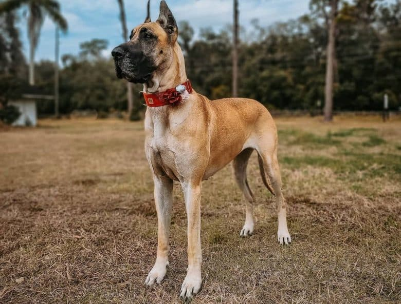 A full body shot of a Fawn Great Dane standing