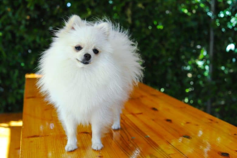 a portrait image of a White Pom standing