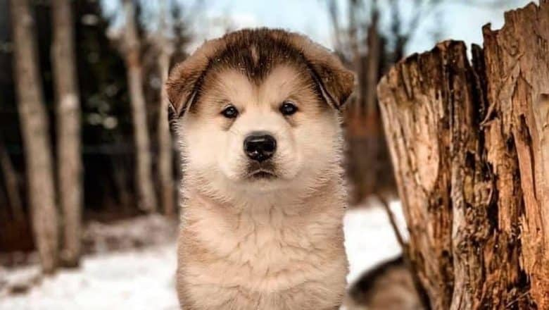 Star marked Alaskan Malamute dog portrait