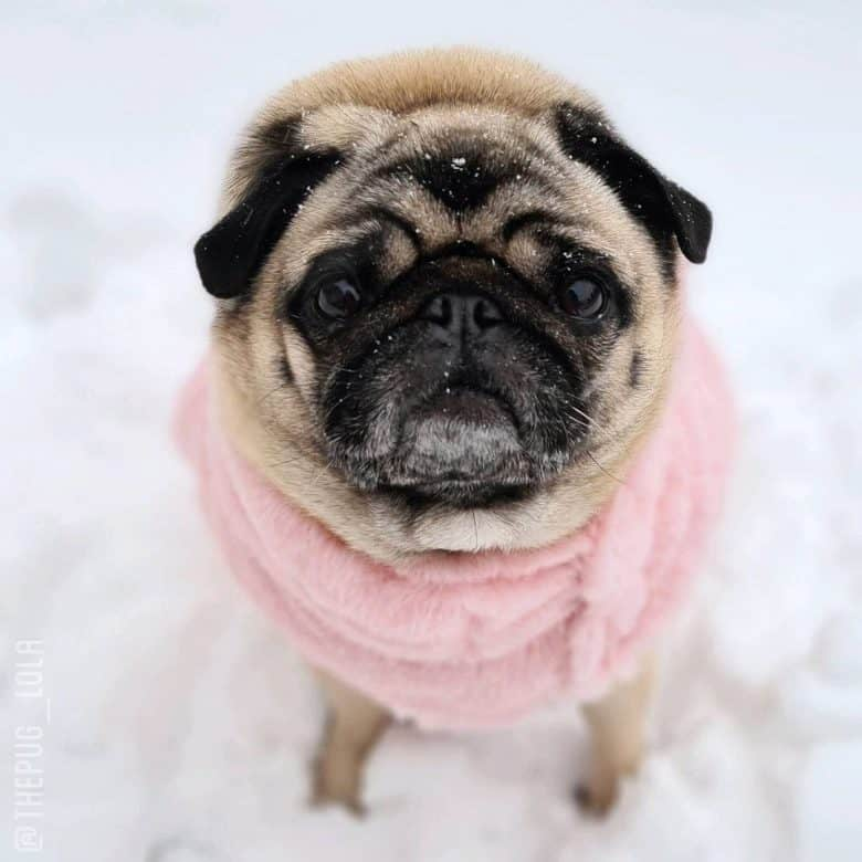 A fawn Pug wearing pink sweater and standing on the snow