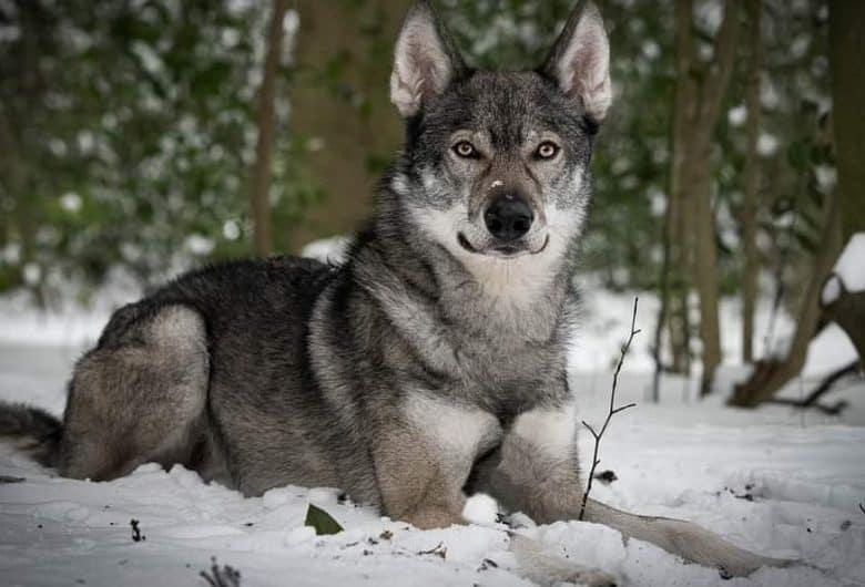 A Tamaskan dog laying on the snow