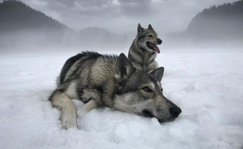 Tamaskan dogs loves to hang out in the snowfield