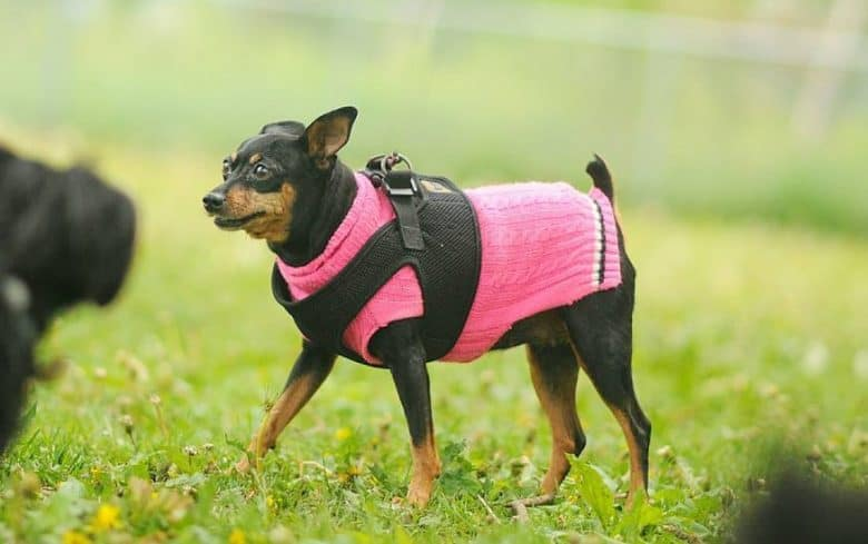 A full grown Teacup Miniature Pinscher wearing a pink sweater standing on a meadow