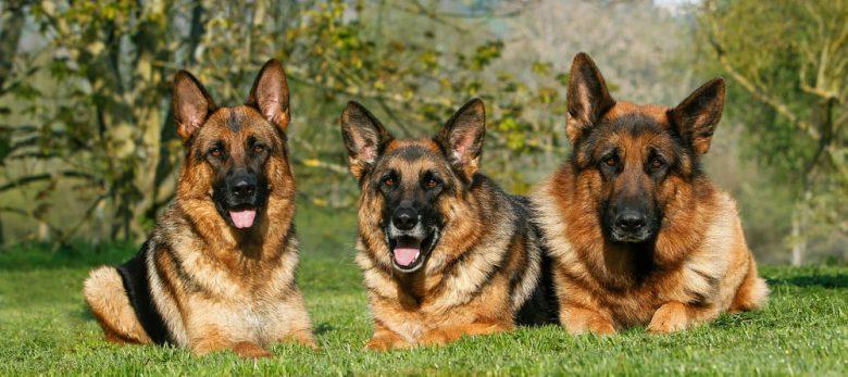 Three adult German Shepherd dogs lying on the grass