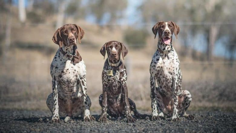 Three German Shorthaired Pointer siblings sitting on the ground
