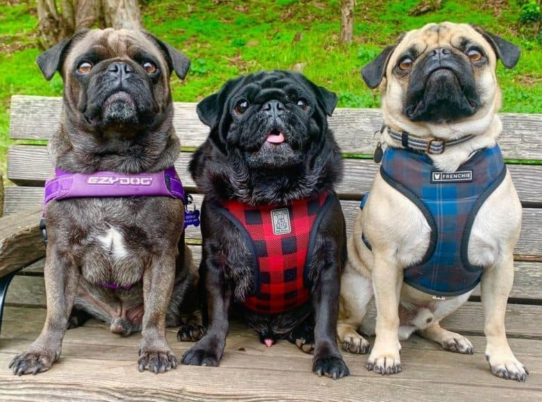 Three Pugs sitting on a wooden bench wearing harnesses