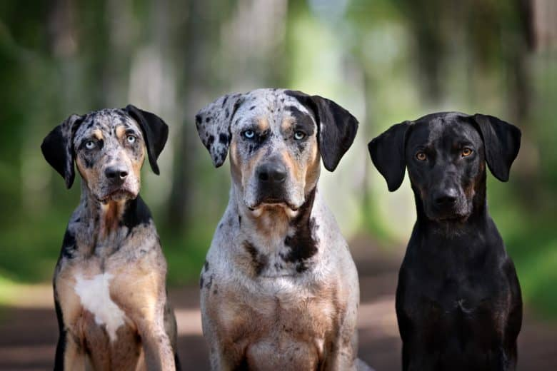 Three Catahoula dogs with different coats