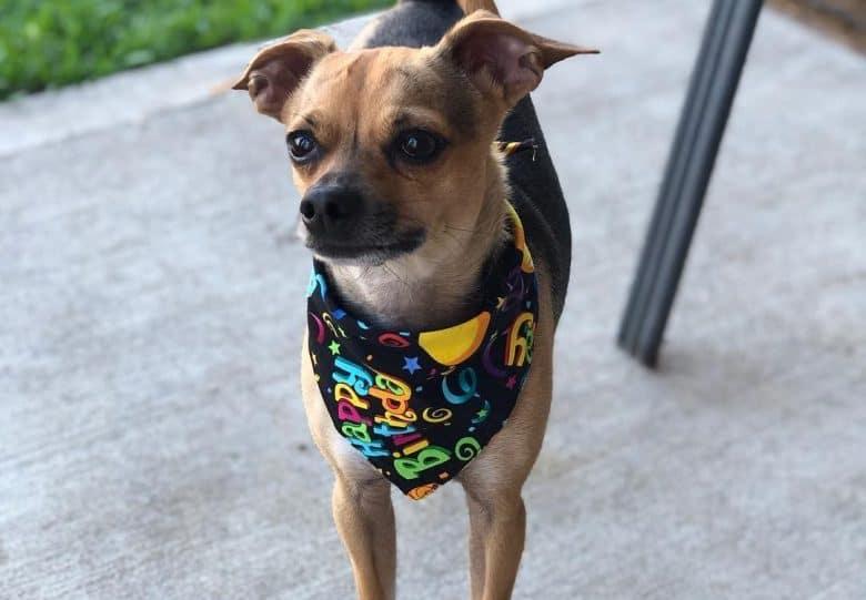 A small Boxachi wearing a colorful scarf
