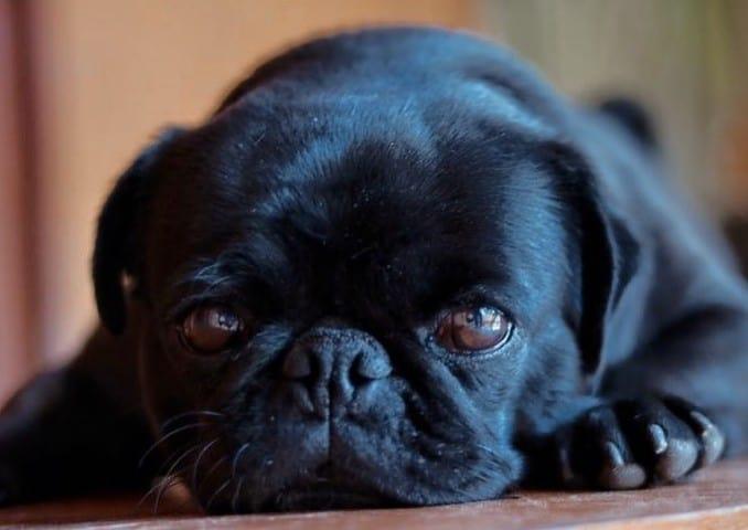 An adorable black Pug laying down