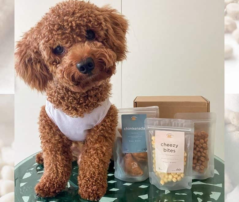 Toy Poodle dog sitting beside his foods