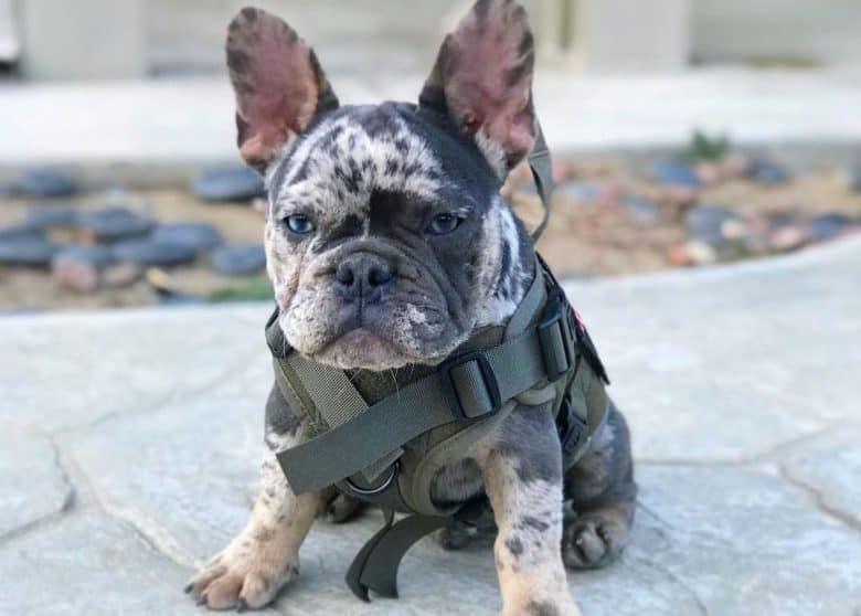 Tri blue merle French Bulldog portrait