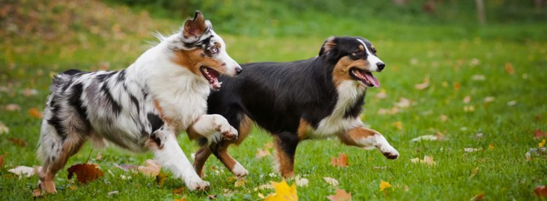 Two amazing adult Aussie dogs playing outside