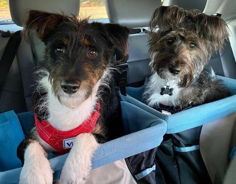 Two adorable Basenjipoo on a car seat