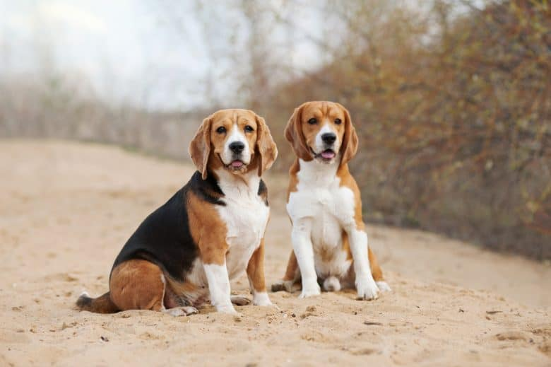 Two Beagle dogs outside sitting on sand