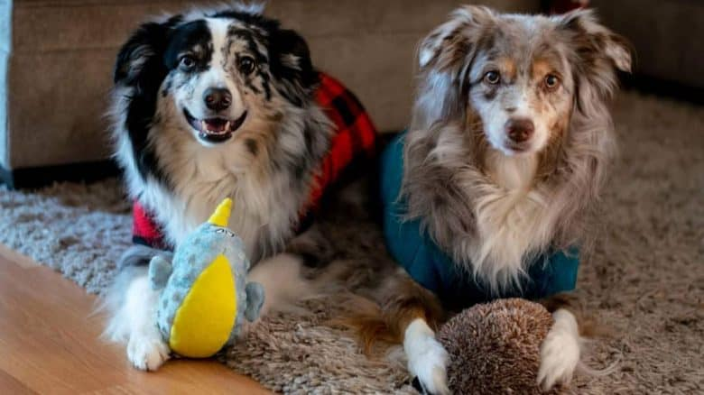 Two beautiful Aussie dogs playing their respective toy